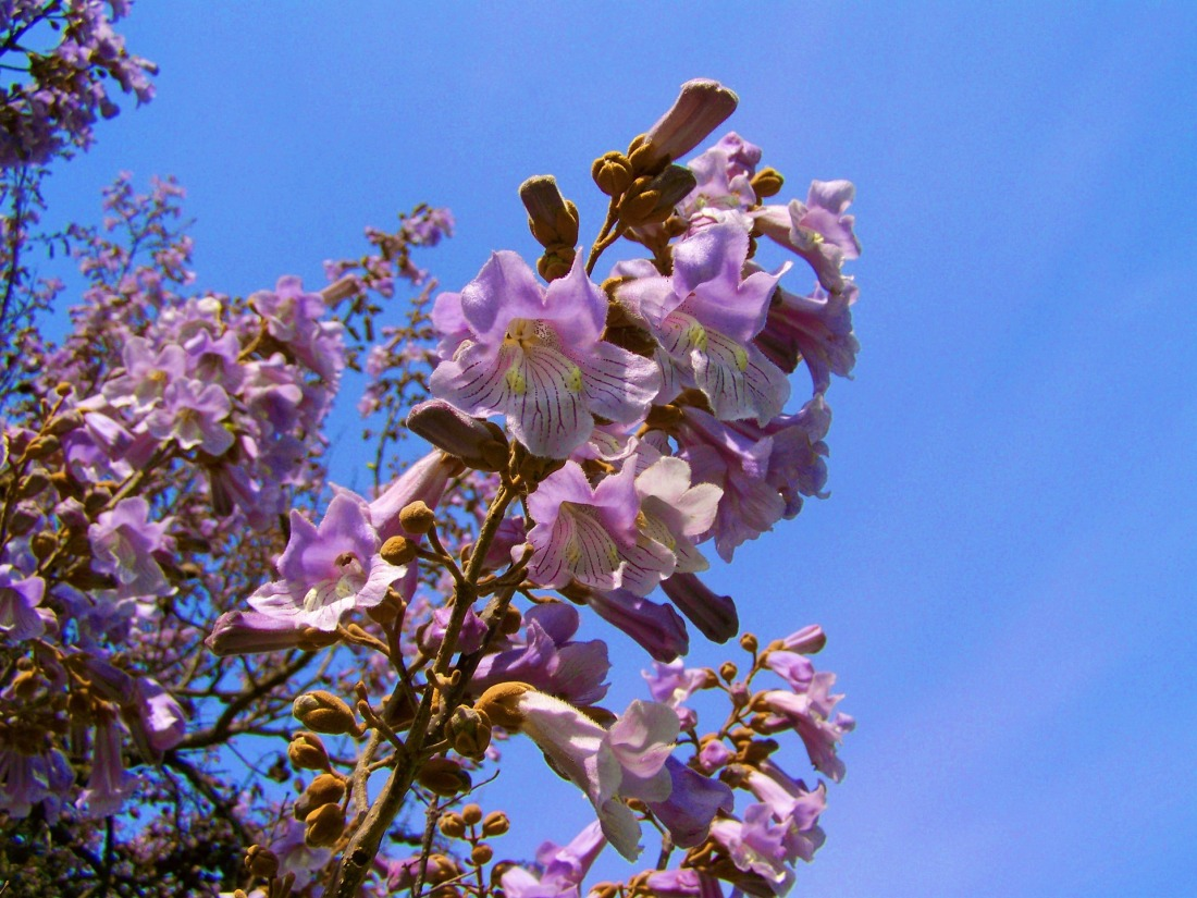 emperor-flowering-tree-772170_1920
