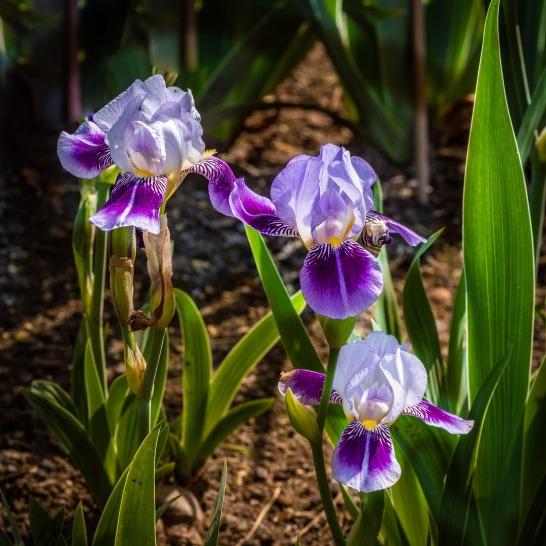 Pour les iris, on prélève les tubercules et on les replantes en prenant soin de ne pas les enterrer trop profond sinon il n'y aura pas de fleurs.