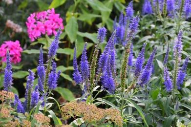 langblattriger-garden-speedwell-1603739_1920