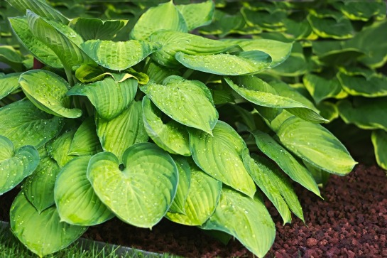plantain-lily-2370852_1920